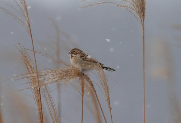 Pallas's Reed Bunting / 북방검은머리쑥새 polaris subspecies Emberiza pallasi polaris Family Emberizidae Yeongsangang River, Dongnim-dong, Gwangju, South Korea 1 January 2015