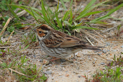 Little Bunting / 쇠붉은뺨멧새 Emberiza pusilla Family Emberizidae Eocheong-do, Jeollabuk-do, South Korea 4 May 2014
