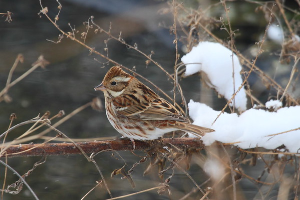 Rustic Bunting / 쑥새 Nominate subspecies Emberiza rustica rustica Family Emberizidae Gwangjuho Lake Ecology Park, Chunghyo-dong, Gwangju, South Korea 1 January 2015