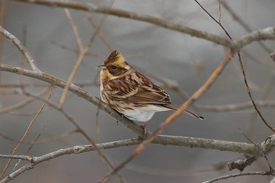 Yellow-throated Bunting (female) / 노랑턱멧새 Nominate subspecies Emberiza elegans elegans Family Emberizidae Gwangjuho Lake Ecology Park, Chunghyo-dong, Gwangju, South Korea 1 January 2015