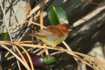 Chestnut Bunting (male) / 꼬까참새 Emberiza rutila Family Emberizidae Eocheong-do, Jeollabuk-do, South Korea 5 May 2014