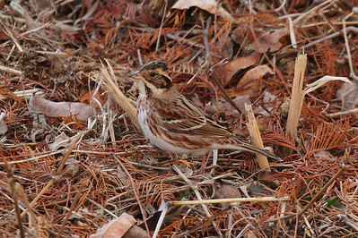 Rustic Bunting / 쑥새 Nominate subspecies Emberiza rustica rustica Family Emberizidae Gwangjuho Lake Ecology Park, Chunghyo-dong, Gwangju, South Korea 4 February 2014