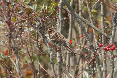 Little Bunting / 쇠붉은뺨멧새 Emberiza pusilla Family Emberizidae Yeongsangang River, Dongnim-dong, Gwangju, South Korea 30 March 2014