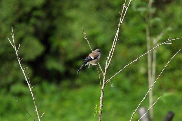 "Brown Bullfinch / 褐灰雀 ""Taiwan"" subspecies Pyrrhula nipalensis uchidai Alishan Gou Hotel, Alishan Township, Chiayi County, Taiwan 14 August 2013"