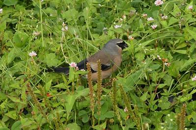 "Grey-headed Bullfinch (female) / 灰头灰雀 ""Taiwan"" subspecies Pyrrhula erythaca owstoni Yushan National Park, Xinyi Township, Nantou County, Taiwan 13 August 2013"