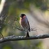 """Eurasian Bullfinch (male) / 멋장이새<br> """"Baikal"""" subspecies<br> <i>Pyrrhula pyrrhula rosacea</i><br> Duryunsan National Park, Haenam-gun, Jeollanam-do, South Korea<br> 11 January 2015"""
