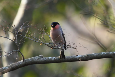 "Eurasian Bullfinch (male) / 멋장이새 ""Baikal"" subspecies Pyrrhula pyrrhula rosacea Duryunsan National Park, Haenam-gun, Jeollanam-do, South Korea 11 January 2015"