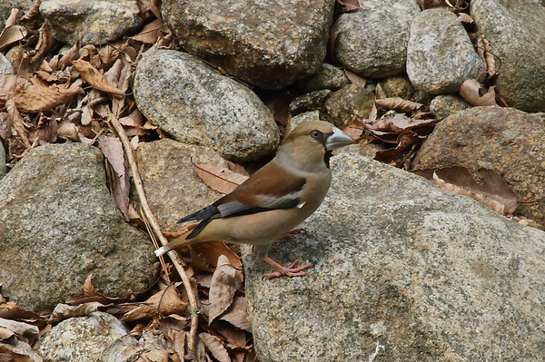 "Hawfinch / 콩새 ""Schulpin's"" subspeciesCoccothraustes coccothraustes schulpini Jirisan National Park, Gurye, Jeollanam-do, South Korea 12 April 2014"