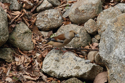 "Hawfinch / 콩새 ""Schulpin's"" subspeciesCoccothraustes coccothraustes schulpini Jirisan National Park, Gurye, Jeollanam-do, South Korea 12 April 2014"