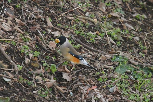 Chinese Grosbeak (male) / 밀화부리 Nominate subspecies Eophona migratoria migratoria Hwangan-myeon, Haenam-gun, Jeollanam-do, South Korea 4 January 2015