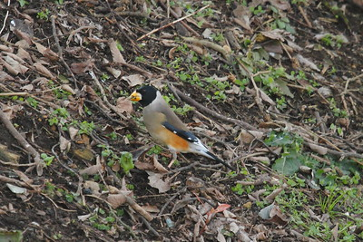 Chinese Grosbeak (male) / 밀화부리 Nominate subspecies Eophona migratoria migratoria Hwangan-myeon, Haenam-gun, Jeollanam-do, South Korea 4 January 2015