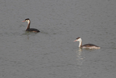 Great Crested Grebe / 뿔논병아리 Nominate subspecies Podiceps cristatus cristatus Family Podicipedidae Gocheonnam Lake, Hanji-ri, Hwangsan-myeon, Haenam-gun, Jeollanam-do, South Korea 23 November 2013