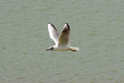 Black-headed Gull / 붉은부리갈매기 Chroicocephalus ridibundus Dongcheongang River, Suncheon-si, Jeollanam-do, South Korea 13 April 2013
