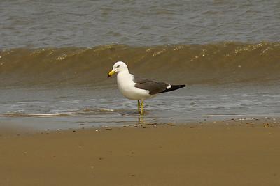Black-tailed Gull / 괭이갈매기 Larus crassirostris Daegwang Beach, Imja-myeon, Sinan-gun, South Korea 28 April 2013