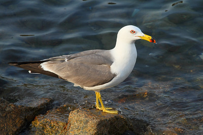 Black-tailed Gull / 괭이갈매기 Larus crassirostris Eocheong-do, Jeollabuk-do, South Korea 5 May 2014