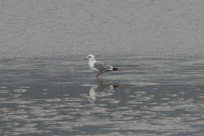 "Mew Gull / 갈매기 ""Russian"" subspecies Larus canus heinei Gangjin Bay, Gangjin-gun, Jeollanam-do, South Korea 7 February 2015"