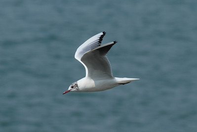Black-headed Gull / 붉은부리갈매기 Chroicocephalus ridibundus Nakdonggang River, Daedae-dong, Busan, South Korea 23 March 2014