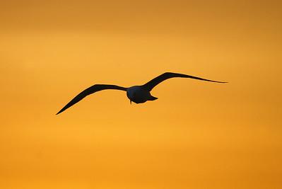 Black-tailed Gull / 괭이갈매기 Larus crassirostris Imja-myeon, Sinan-gun, South Korea 28 April 2013