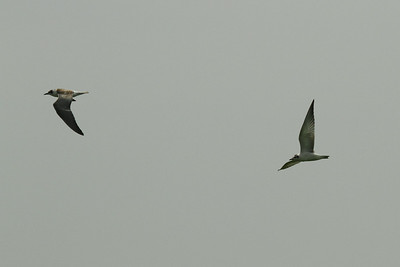 Whiskered Tern (juvenile) / 구레나루제비갈매기 Nominate subspecies Chlidonias hybrida hybrida Anpung-dong, Suncheon-si, Jeollanam-do, South Korea 30 August 2014