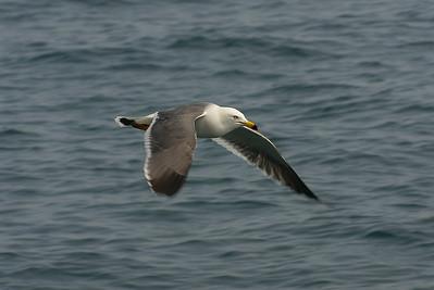 Black-tailed Gull / 괭이갈매기 Larus crassirostris Haegeumgang, Geoje-si, Gyeongsangnam-do, South Korea 24 March 2013
