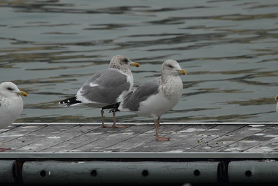 Vega Gull / 재갈매기 Larus vegae Samhakdo Park, Mokpo-si, Jeollanam-do, South Korea 14 January 2015