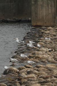 Black-headed Gull / 붉은부리갈매기 Chroicocephalus ridibundus Dongcheongang River, Suncheon-si, Jeollanam-do, South Korea 9 March 2014