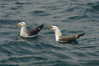 Black-tailed Gull / 괭이갈매기 Larus crassirostris Oedo Botanica, Geoje-si, Gyeongsangnam-do, South Korea 24 March 2013