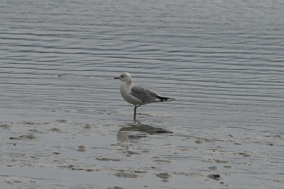 "Mew Gull / 갈매기 ""Russian"" subspecies Larus canus heinei Gangjin Bay, Gangjin-gun, Jeollanam-do, South Korea 7 February 2015"