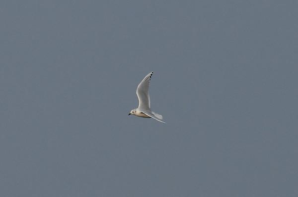 Saunders's Gull / 검은머리갈매기 Chroicocephalus saundersi Yubu-do, Seocheon-gun, Chungcheongnam-do, South Korea 28 September 2014
