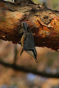 Eurasian Nuthatch / 동고비 amurensis subspecies Sitta europaea amurensis Geumseongsanseong, Damyang-gun, Jeollanam-do, South Korea 16 March 2013
