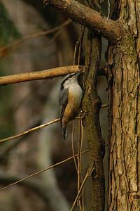 Eurasian Nuthatch / 동고비 amurensis subspecies Sitta europaea amurensis Gakhwa Reservoir, Gakhwa-dong, Gwangju, South Korea 14 April 2013