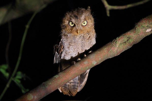 "Mountain Scops Owl / 黄嘴角鸮 ""Taiwan"" subspecies Otus spilocephalus hambroeki Dingbenzai, Zhuqi Township, Chiayi County, Taiwan 12 August 2013"