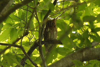 Oriental Scops Owl / 소쩍새 stictonotus subspecies Otus sunia stictonotus Chungpung-dong, Gwangju, South Korea 17 May 2014