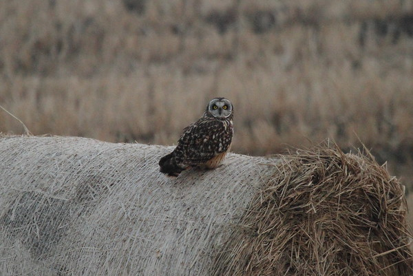 Short-eared Owl / 쇠부엉이 Nominate subspecies Asio flammeus flammeus Geumhoho Lake, Haenam-gun, Jeollanam-do, South Korea 4 January 2015