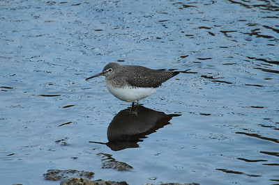 Green Sandpiper / 삑삑도요 Tringa ochropus Family Scolopacidae Chungpung-dong, Gwangju, South Korea 10 January 2015