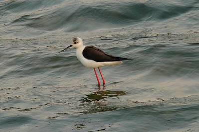 Black-winged Stilt / 장다리물떼새 Nominate subspecies Himantopus himantopus himantopus Family Recurvirostridae Eocheong-do, Jeollabuk-do, South Korea 5 May 2014