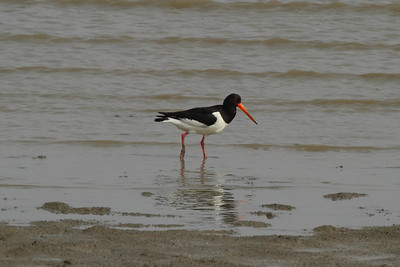 "Eurasian Oystercatcher / 검은머리물떼새 ""Kamchatka"" subspeciesHaematopus ostralegus osculans Family Haematopodidae Aphae-do, Sinan-gun, Jeollanam-do, South Korea 18 May 2014"