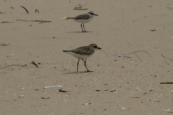 Greater Sand Plover / 铁嘴沙鸻 Nominate subspecies Charadrius leschenaultii leschenaultii Family Charadriidae Huxia Seawall, Jinning, Kinmen, Taiwan 13 August 2014