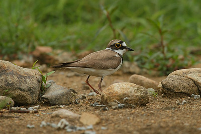 "Little Ringed Plover / 꼬마물떼새 ""Northern"" subspecies Charadrius dubius curonicus Family Charadriidae Gwangjuho Lake Ecology Park, Chunghyo-dong, Gwangju, South Korea 5 July 2014"