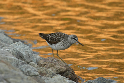 Green Sandpiper / 삑삑도요 Tringa ochropus Family Scolopacidae Eocheong-do, Jeollabuk-do, South Korea 5 May 2014