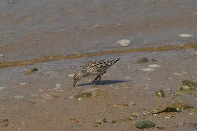 Sharp-tailed Sandpiper / 메추라기도요 Calidris acuminata Family Scolopacidae Eocheong-do, Jeollabuk-do, South Korea 6 May 2014