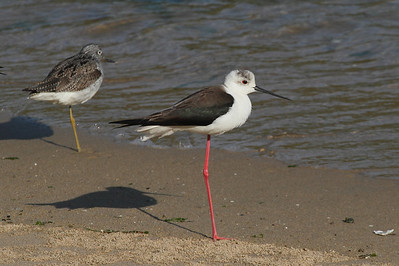 Black-winged Stilt / 장다리물떼새 Nominate subspecies Himantopus himantopus himantopus Family Recurvirostridae Eocheong-do, Jeollabuk-do, South Korea 3 May 2014
