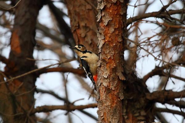 "Great Spotted Woodpecker (female) / 오색딱다구리 ""Japanese"" subspeciesDendrocopos major japonicus Gakhwa Reservoir, Gakhwa-dong, Gwangju, South Korea 7 January 2014"