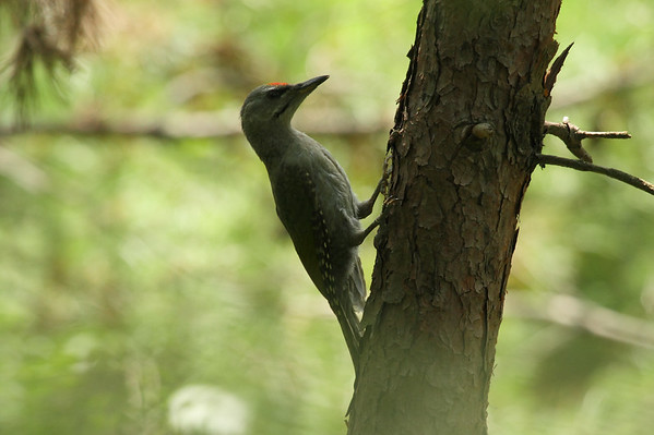 Grey-headed Woodpecker (male) / 청딱다구리 jessoensis subspecies Picus canus jessoensis Mangwol-dong, Gwangju, South Korea 28 June 2014