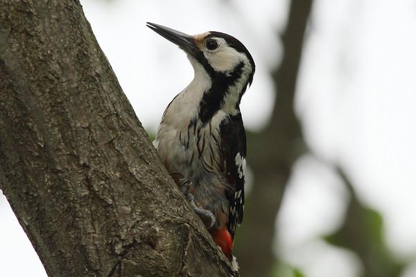 White-backed Woodpecker (female) / 큰오색딱다구리 Nominate subspecies Dendrocopos leucotos leucotos Gakhwa Reservoir, Gakhwa-dong, Gwangju, South Korea 26 May 2013