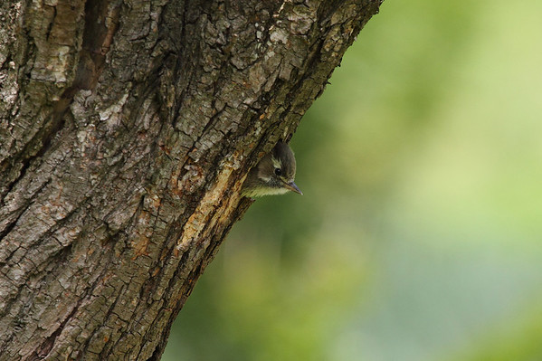 Japanese Pygmy Woodpecker (nestling) / 쇠딱다구리 nippon subspecies Dendrocopos kizuki nippon Gakhwa Reservoir, Gakhwa-dong, Gwangju, South Korea 2 June 2013