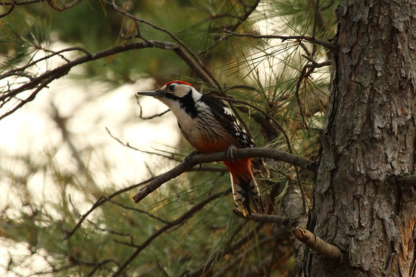White-backed Woodpecker (male) / 큰오색딱다구리 Nominate subspeciesDendrocopos leucotos leucotos Gakhwa Reservoir, Gakhwa-dong, Gwangju, South Korea 7 January 2014