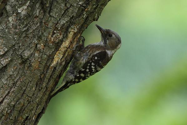 Japanese Pygmy Woodpecker (female) / 쇠딱다구리 nippon subspecies Dendrocopos kizuki nippon Gakhwa Reservoir, Gakhwa-dong, Gwangju, South Korea 2 June 2013