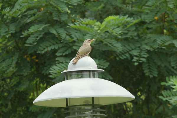 Grey-headed Woodpecker (juvenile) / 청딱다구리 jessoensis subspecies Picus canus jessoensis Gwangjuho Lake Ecology Park, Chunghyo-dong, Gwangju, South Korea 5 July 2014