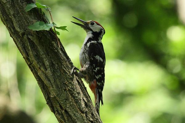 White-backed Woodpecker (male) / 큰오색딱다구리 Nominate subspecies Dendrocopos leucotos leucotos Gakhwa Reservoir, Gakhwa-dong, Gwangju, South Korea 30 June 2013